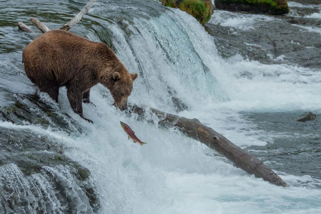 niedźwiedź brunatny w Brook Falls Alaska wycieczka