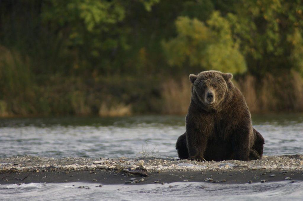 Obserwacja niedźwiedzi brunatnych na Alasce