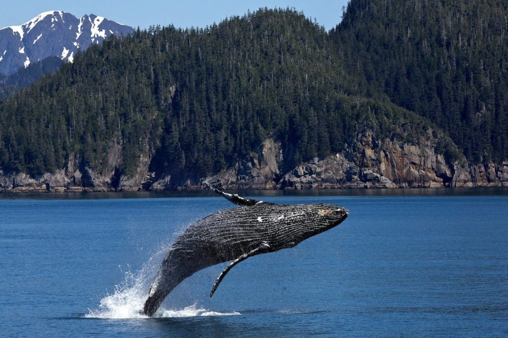 obserwacja wielorybów podczas rejsu na Alasce