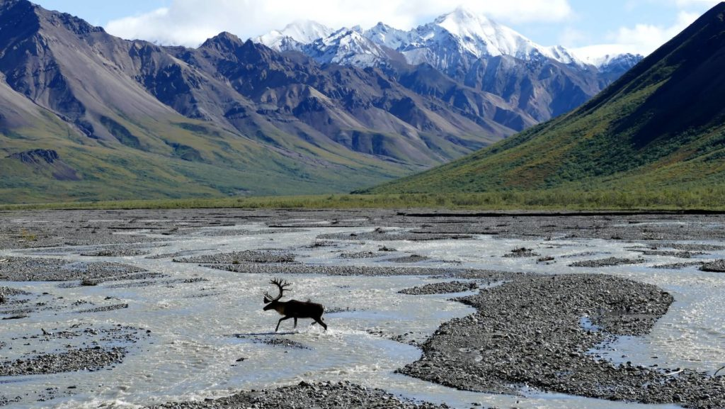 karibu w górach Alaski - Wycieczka Alaska