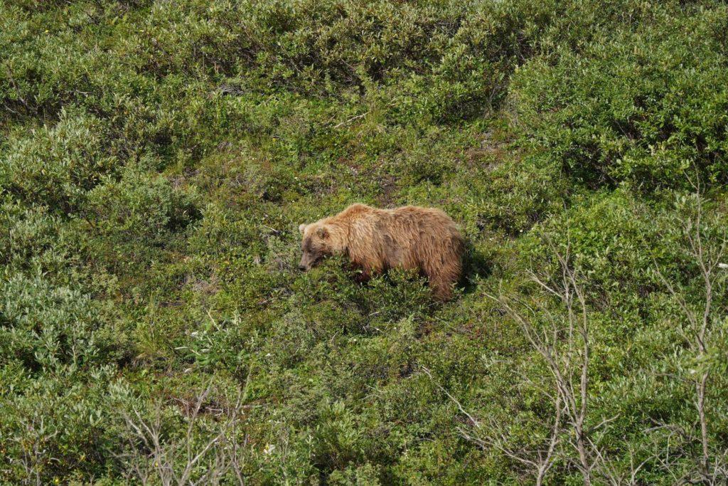 Niedźwiedź grizzly w parku narodowym Denali